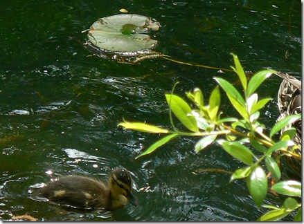 baby duck with lily pad