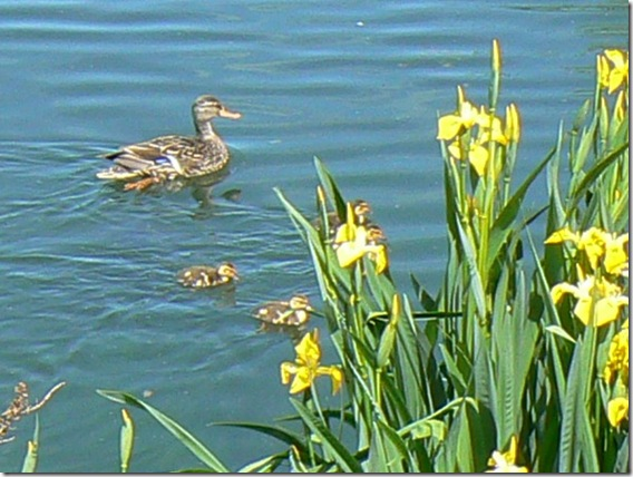 ducks and irises 5-10-12