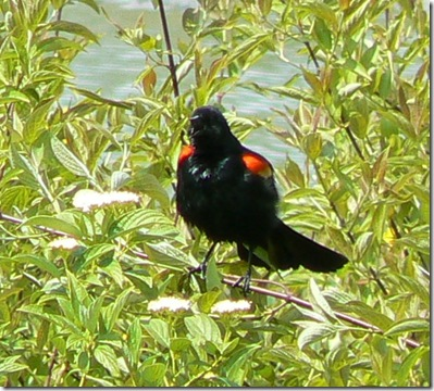 red-winged blackbird 5-10-12
