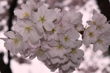 Cherry blossoms compressed 3-13-15