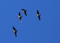 Geese from below 11-15-15